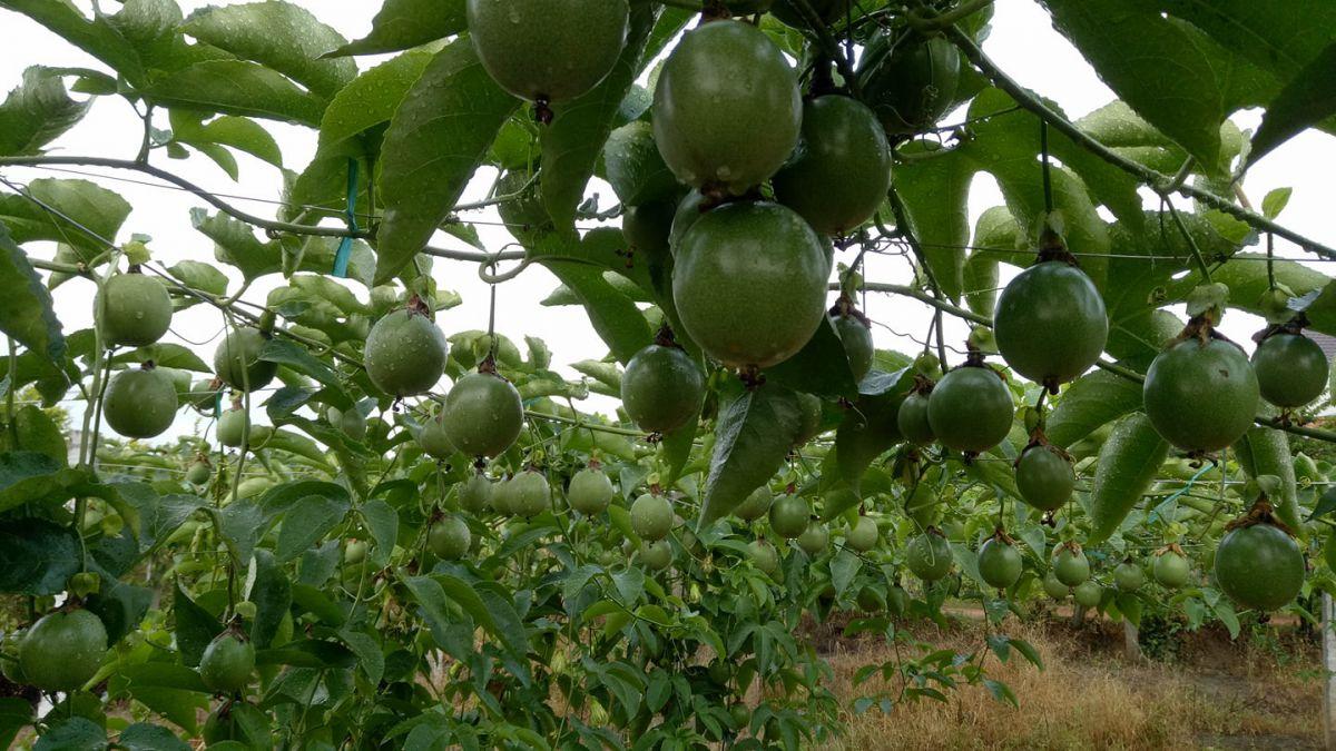 Trồng cây giống Tai One và những điều cần biết